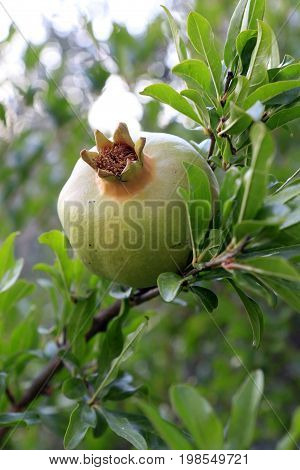 Pomegranate fruit hanging on the tree branch