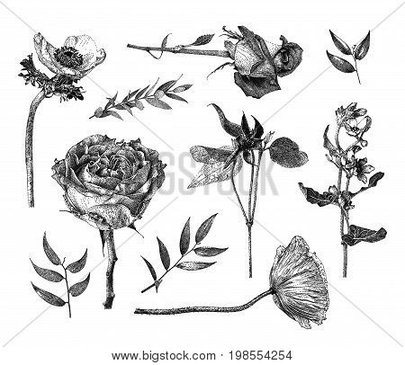 Vector illustration with set of Clematis Anemone Oxypetalum coeruleum Hybrid tea rose branches and leaves drawn by hand. Graphic drawing pointillism technique. Botanical natural collection. Black and white floral element isolated on white