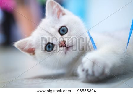 White British kitten pet with shorthair lies and looks up while playing with blue ribbon. Color silver shaded. Little cute cat with blue eyes, indoor animal portrait