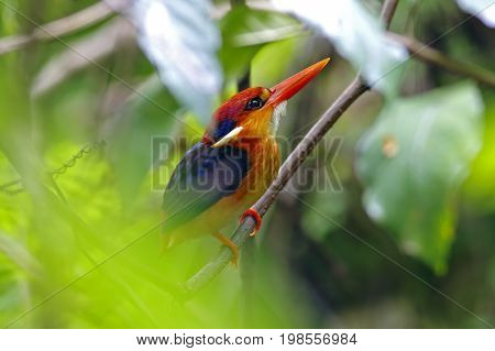 Oriental Dwarf Kingfisher Ceyx Erithaca Cute Birds Of Thailand