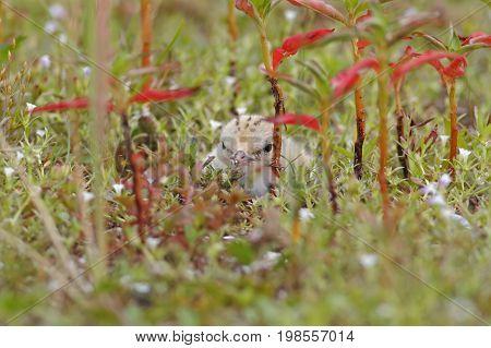 Little Tern Sternula Albifrons Baby Cute Birds
