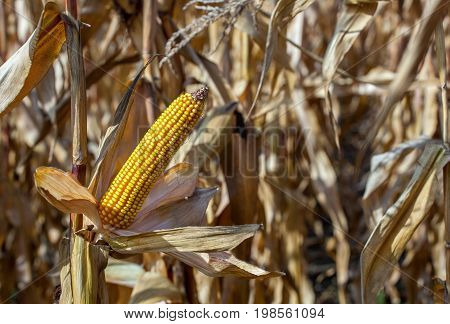 Ripe yellow cob of sweet corn on a large field. Autumn collection corn crop.