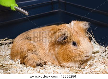 Portrait of cute red guinea pig. Close up.