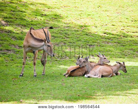 Common eland - Second larges antelope in the world - Taurotragus oryx