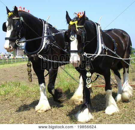 Working shire horses