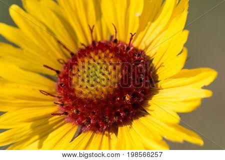 Yellow blanket flower otherwise known as Gaillardia Aristata