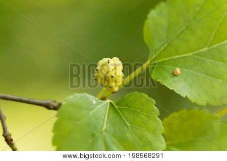 Fruit of a white mulberry Morbus alba.