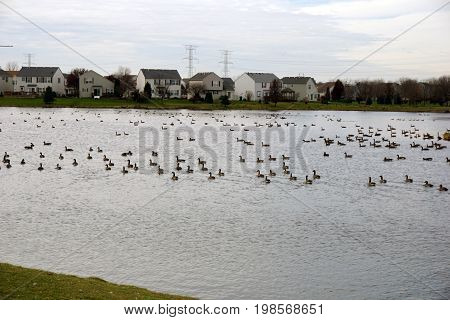 Flocks of migrating Canada geese (Branta canadensis) stop at a small lake in a residential area of Joliet, Illinois while on their seasonal southward migration.