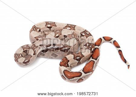 The common boa, Boa constrictor, isolated on white background