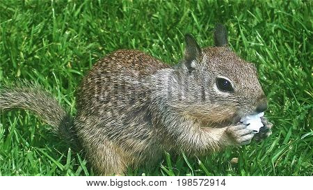 Cute squirrel sitting and eating popcorn on grass