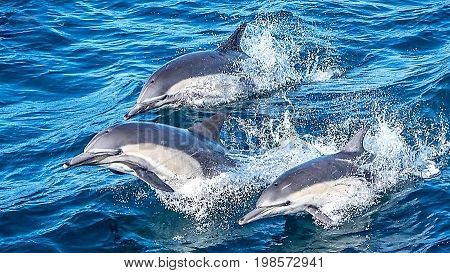 Dolphin pod of three breaching in Monterey Bay