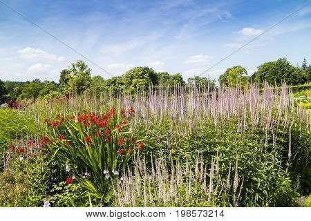 Large herbaceous border with tall blue Veronica and red Crocosmia flowering plants.