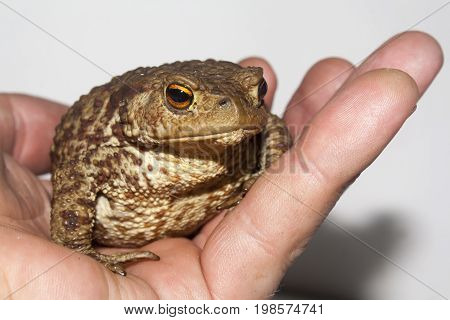 ground toad in the palm of hand closeup