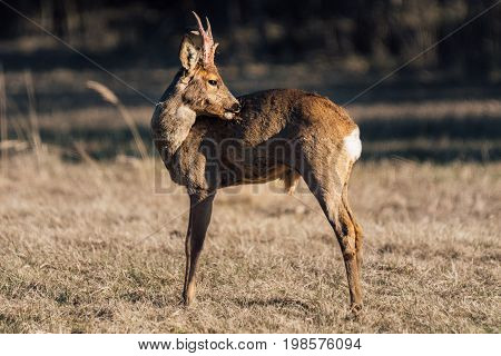 Male roe deer with large horn standing on a yellow field scratching his back with his nose