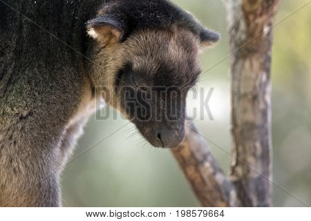 this is a close up of a Lumholtz Tree-kangaroo