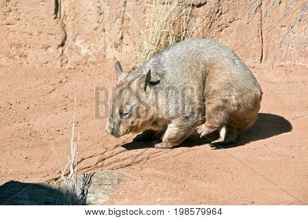 the wombat is scratching with his hind leg