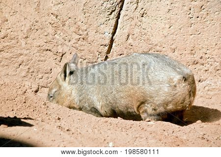 the wombat is digging a hole to rest in
