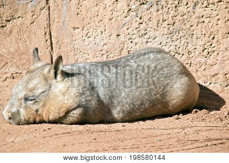 the wombat is resting in the sun