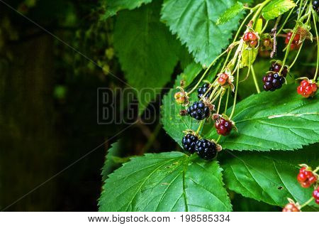 Blackberries on the plant ready to harvest