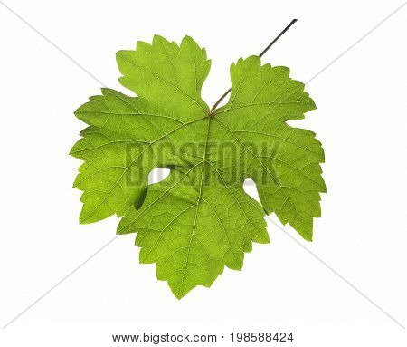 Grapevine leaf in detail, isolated on white background, clipping path included