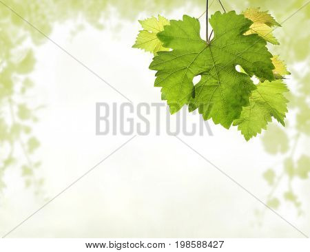 Grapevine background with detail of leaves and blurred light green vine branches border