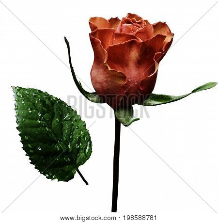 Red rose on white isolated background with clipping path. No shadows. Closeup. A flower on a stalk with green leaves after a rain with drops of water. For flowers design. Side view. Nature.