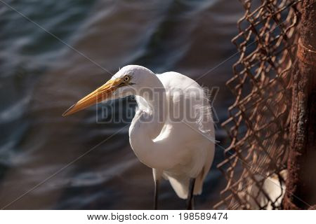 Great Egret Ardea Alba Hunts For Food In A Marsh In Bolsa Chica Wetlands