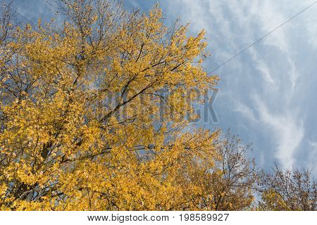 Golden willow trees against blue sky background. Autumn season in Toronto Ontario Canada