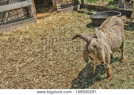 Sheep with horns in a pen on a farm