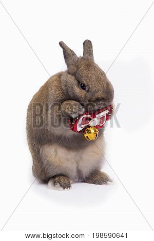 Cute brown netherland dwarf rabbit is dressing red necktie on white background.