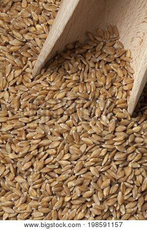 Einkorn wheat seeds on a wooden spoon