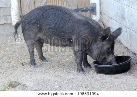 Black Guinea Hog Eating in Pig Pen