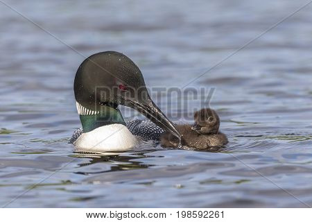 A Common Loon (Gavia immer) pulls its beak from the water as its chick looks on - Ontario Canada