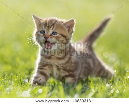 kitten meowing in green grass