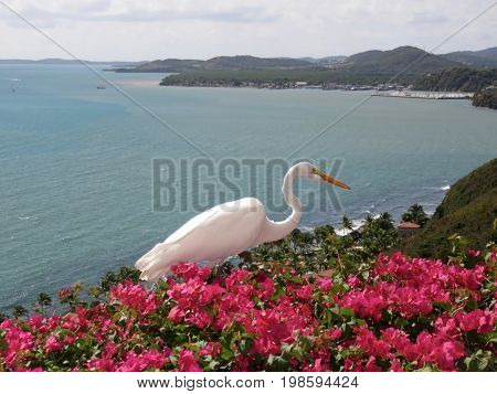Spectacular Great White Heron/Egret on Bougainvillea on a cliff in Puerto Rico overlooking the ocean.