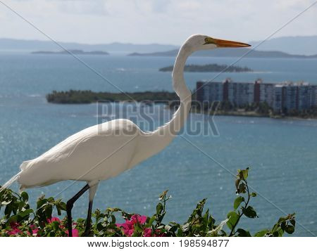 Great Egret/Great White Heron on top of Bougainvillea on Cliff in Puerto Rico.