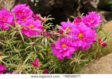 Colorful Pink vygies  growing in a garden