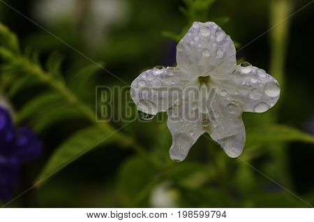A white flower covered in water drops in a garden
