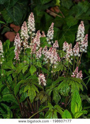 Foamflower Or Saxifragaceae In A Garden.