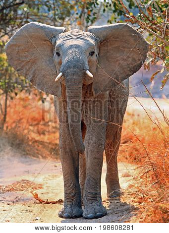 Adolescent Elephant standing looking directly at camera with ears flapping South Luangwa Zambia