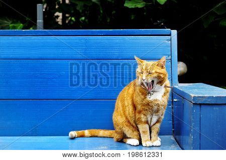 Nice view of a red cat over a wooden blue bench