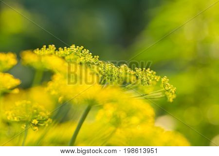 Bright dill flower closeup. Dills flowering in the garden in summer. Good spice for food. SHallow depth of field photo.