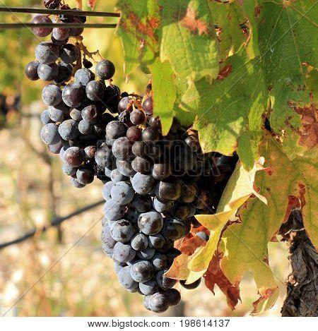 blue grapes in a vineyard in Croatia