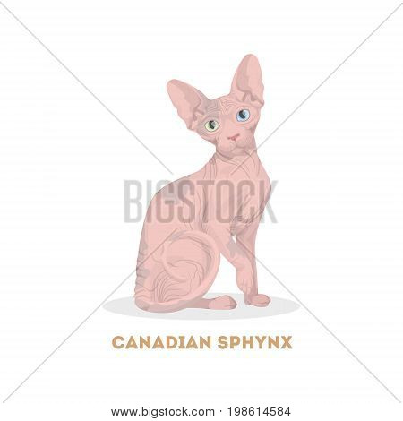 Canadian sphynx cat. Isolated domestic animal on white background.