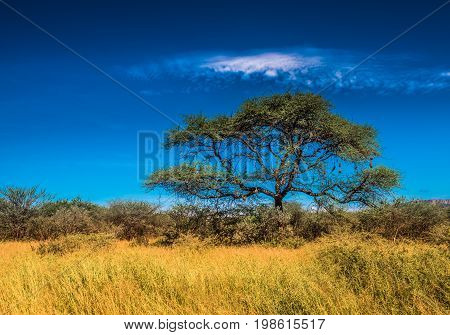 Tree in savannah over blue sky classic african landscape