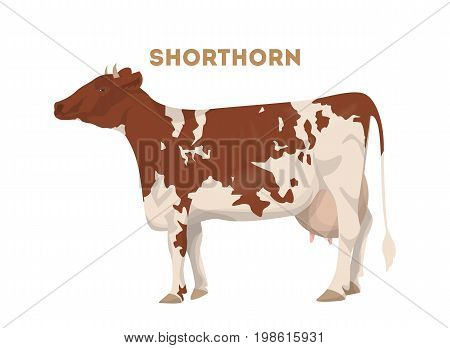 Isolated shorthorn cow on white background. Brown and white cow with good milk.