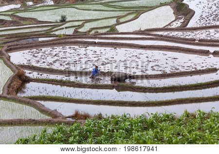 YUANYANG, CHINA - MAY 6, 2014: Man with water buffalo working hard in terraced rice fields in Yuanyang county, Yunnan province of China