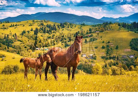 Horse With Little Foal Grazing In A Meadow