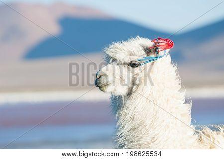 Portrait Of White Alpaca.