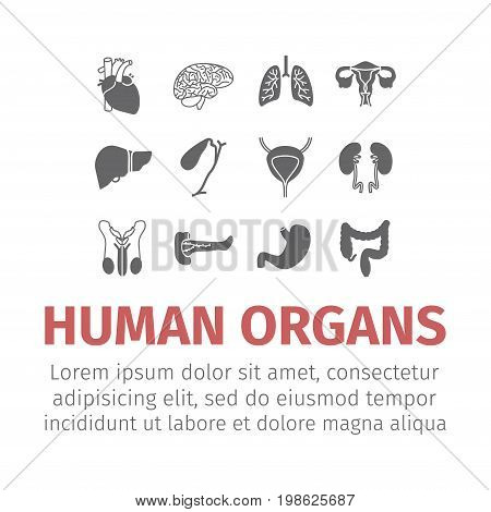 Human organs. Internal organs. Thin icons set. Vector illustration
